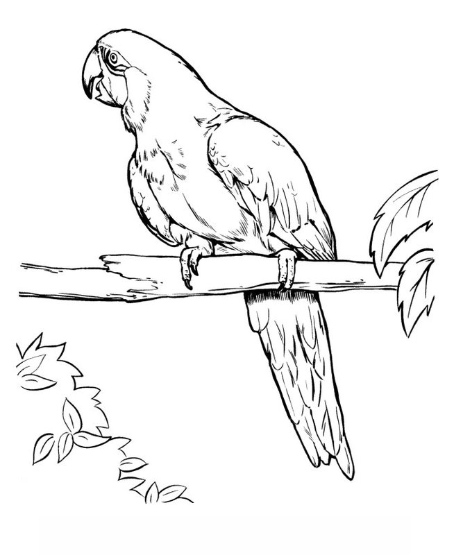 Amazon Parrot Coloring Pages