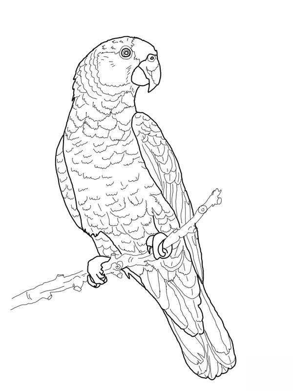 Papagei Ausmalbilder F 252 R Erwachsene Kostenlos Zum
