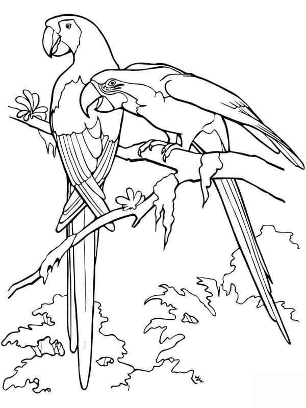 papagei ausmalbilder für erwachsene kostenlos zum