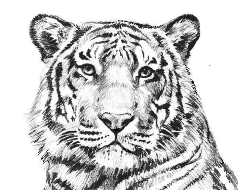 Tiger Ausmalbilder Für Erwachsene Kostenlos Zum Ausdrucken Teil 1