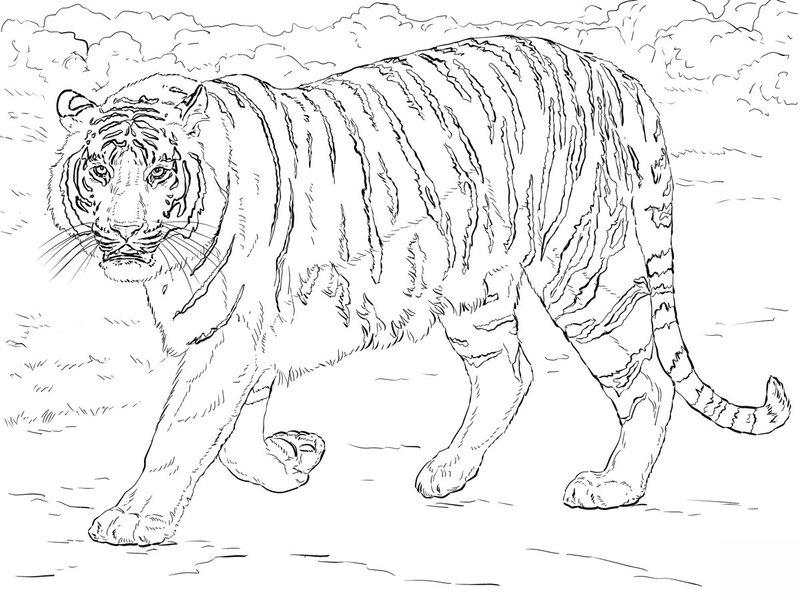 Tiger Ausmalbilder F 252 R Erwachsene Kostenlos Zum Ausdrucken