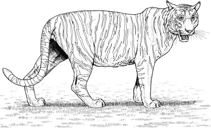tiger ausmalbilder für erwachsene kostenlos zum ausdrucken