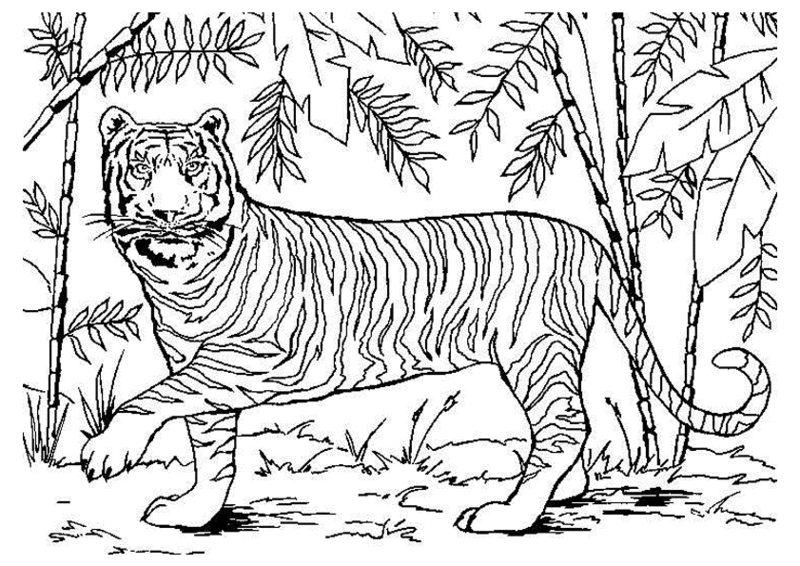 Tiger Ausmalbilder Für Erwachsene Kostenlos Zum Ausdrucken Teil 3