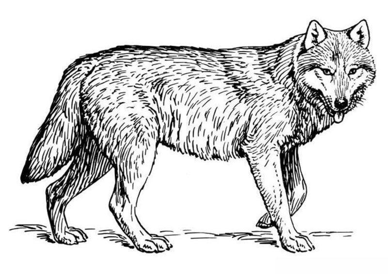 Wölfe Ausmalbilder Für Erwachsene Kostenlos Zum Ausdrucken